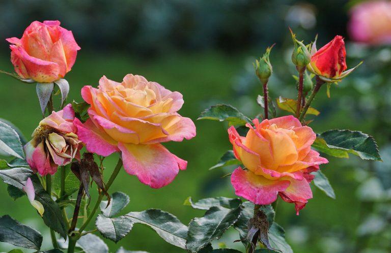 ורדים חשופי שורש